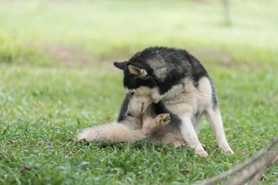 尻尾を気にするハスキー犬