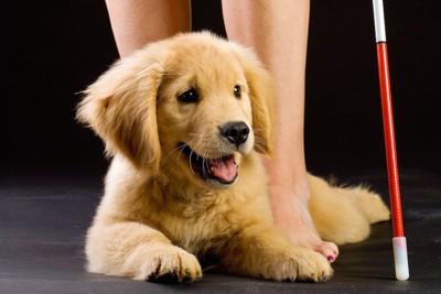 人の足元に伏せる盲導犬候補の子犬