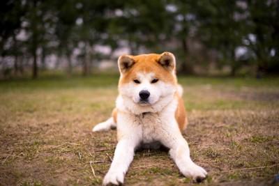 公園で伏せをしている秋田犬