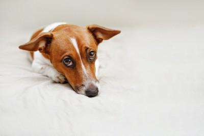 悲しげな表情でこちらを見つめる犬