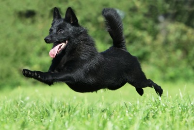 飛ぶようにダッシュする黒い犬