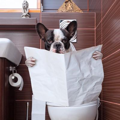 トイレでリラックスするフレンチブルドッグ