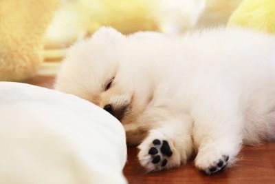 眠るポメラニアンの子犬と肉球