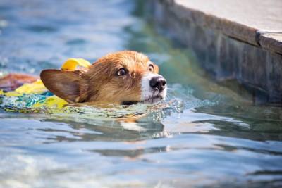 泳いでいるコーギー
