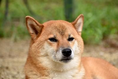 不機嫌な柴犬の顔のアップ