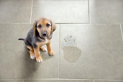 床に粗相をした子犬