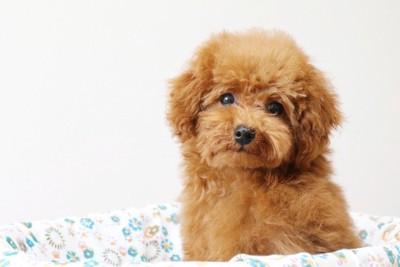 犬用ベッドからこちらを見つめるトイプードル