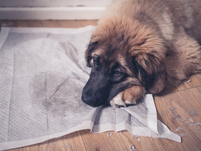 トイレシーツの上でしょんぼりする犬