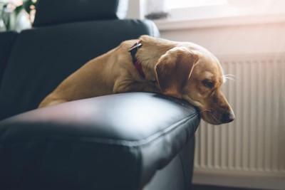 ガッカリした表情のソファーの上の犬