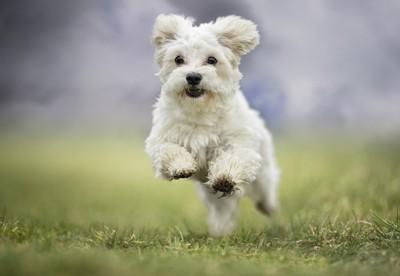 芝生を走る白い小型犬