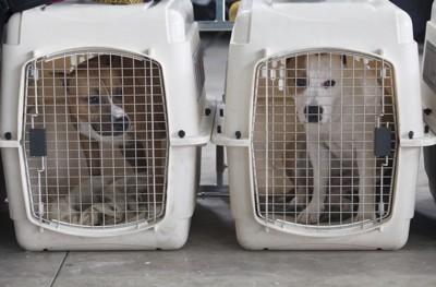 クレートに入る2匹の犬