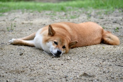 土の上で寝転ぶ犬