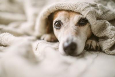 ブランケットから顔を出す犬