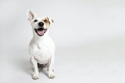 座って嬉しそうな表情をする片耳が折れた犬