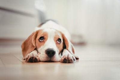 あごをつけて伏せる犬