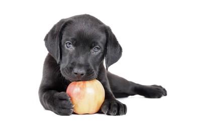 リンゴをかじる犬