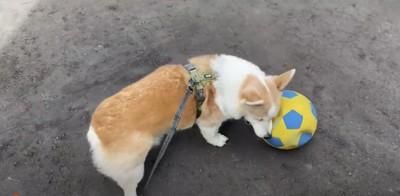 コーギーの犬