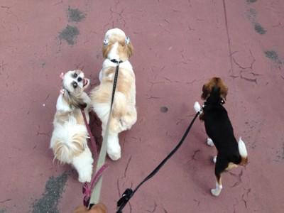 散歩するシーズー2匹と子犬