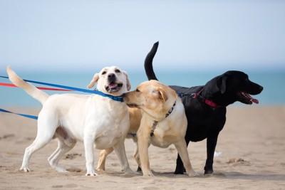 砂浜で散歩する三色のラブラドールたち