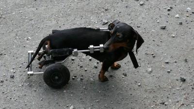 後肢のない犬