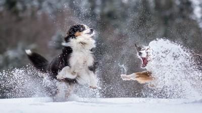 雪の中で遊ぶ二頭のオーストラリアンシェパード