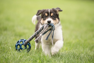 おもちゃを咥えて芝生の上を歩く子犬
