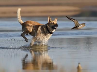 水辺で鳥を追いかけている犬