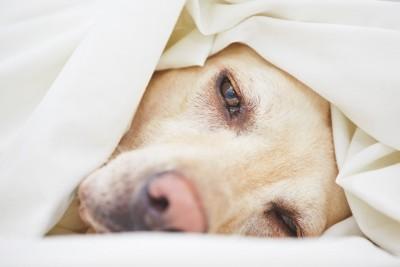 布団の中からこちらを見つめる犬