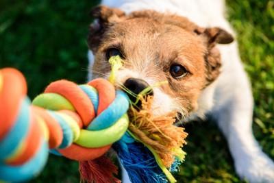 おもちゃを引っ張りっこする犬