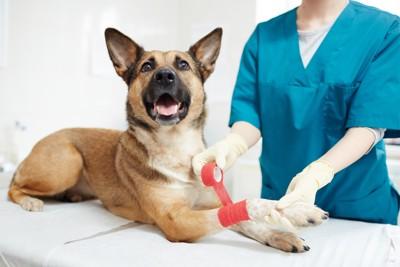 治療中の捻挫した犬