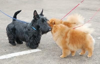 散歩中に挨拶を交わす二頭のポメラニアンと黒いテリア