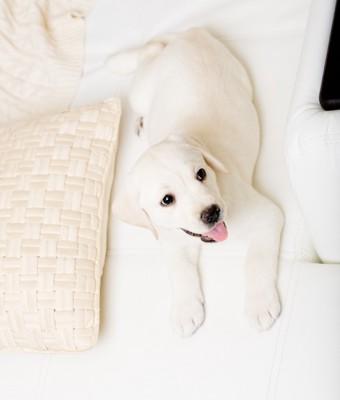 鳴いている白い犬