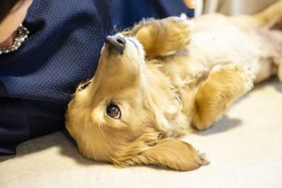 仰向けに寝転んで見つめるダックス