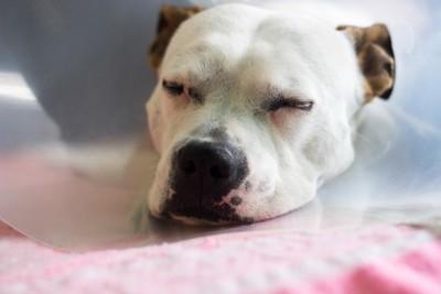 麻酔をして眠る犬