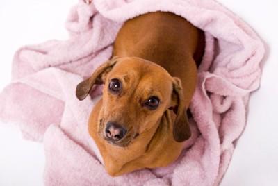 タオルの上に座る犬
