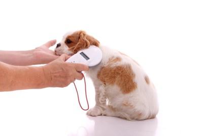 マイクロチップを確認される犬