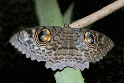 擬態する蛾