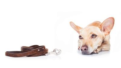 リードを見つめる犬