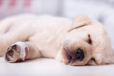 足を怪我した子犬