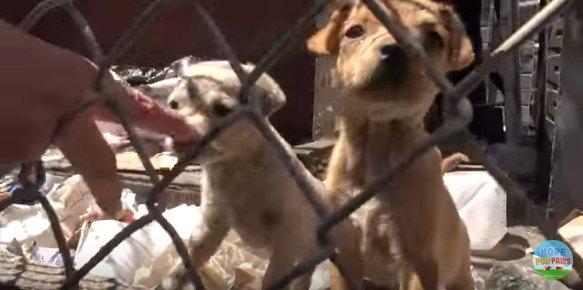 フェンス越しの子犬たち