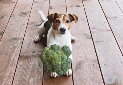 前足にブロッコリーを乗せて伏せる犬