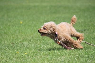 芝生でダッシュするトイプードル