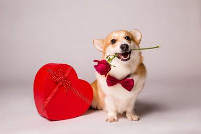 ハート型のギフトボックスを赤いバラを銜えた犬