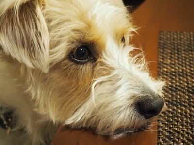 机に顎をのせる犬