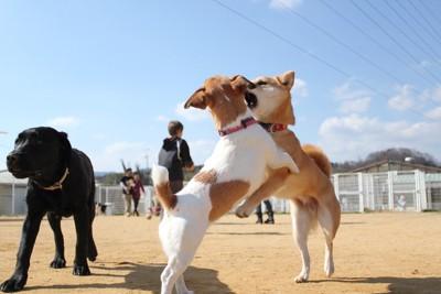 ドッグランで遊ぶ三頭の犬と人の姿