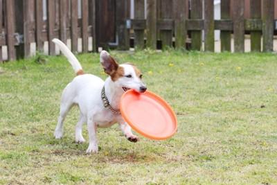 フリスビーを咥える犬