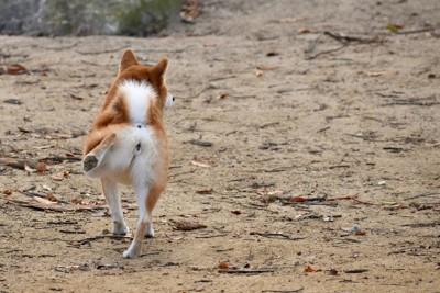 片足を伸ばす柴犬の後ろ姿