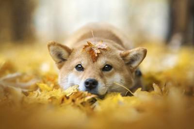 黄色い落ち葉と柴犬