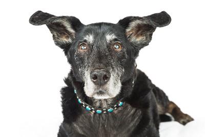 耳の大きな黒いシニア犬