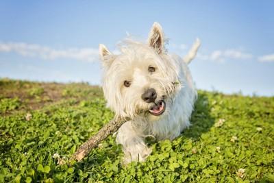 木の枝をくわえている犬